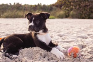 Puppy at the beach with a ball